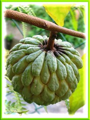 Sugar/Custard Apple (Annona squamosa) at our backyard
