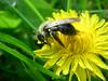 Bee on Dandelion (katrin glaesmann) Tags: macro closeup dandelion bee pollen biene compactcamera löwenzahn taraxacumofficinale blütenstaub notedited supershot gewöhnlicherlöwenzahn mightbeapismelliferamellifera europeandarkbee thankyouschnupusandanadelmannfortellingmethatthisisadandelionandnotadaffodilitseemsigotabitconfusedbecauseofalltheseyellowflowers dunkleeuropäischebiene afterworkpictures