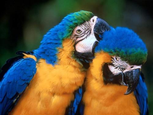 Love Birds Clipart Graphics Myspace