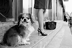 Street Dog (sinoperture) Tags: china street urban blackandwhite bw film 35mm blackwhite trix beijing streetphotography 400tx 35mmfilm pekingese kodaktrix 135 f80 n80 nikonn80 nikonf80 blanconegro trix400 peke 50f14 beijingflickrmeetup