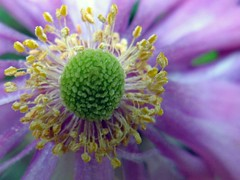 A Flower in a Centre (syam C) Tags: pink flower macro green yellow soft purple centre stamens anemone windflower naturesfinest blueribbonwinner canona710 flowercolors platinumheartaward macroflowerlovers flickrnewpictures