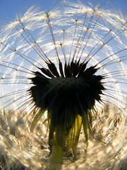 dandelion sunshine (imthinkingoutloud) Tags: sunset abstract sunshine spring weed seed fluff dandelion idaho fuzz photofaceoffwinner pfogold pfosilver imthinkingoutloud