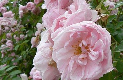 roses vaporeuses.jpg