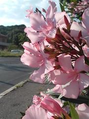 Urban flowers (Sundust_L) Tags: pink flowers flores flower fleur strada flor rosa hana fiori blume fiore oleander oleandro piombino colorescolours flowerwatcher wonderfulworldofflowers