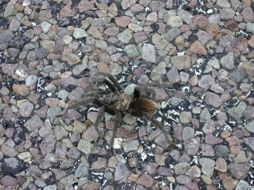 Texas road tarantula