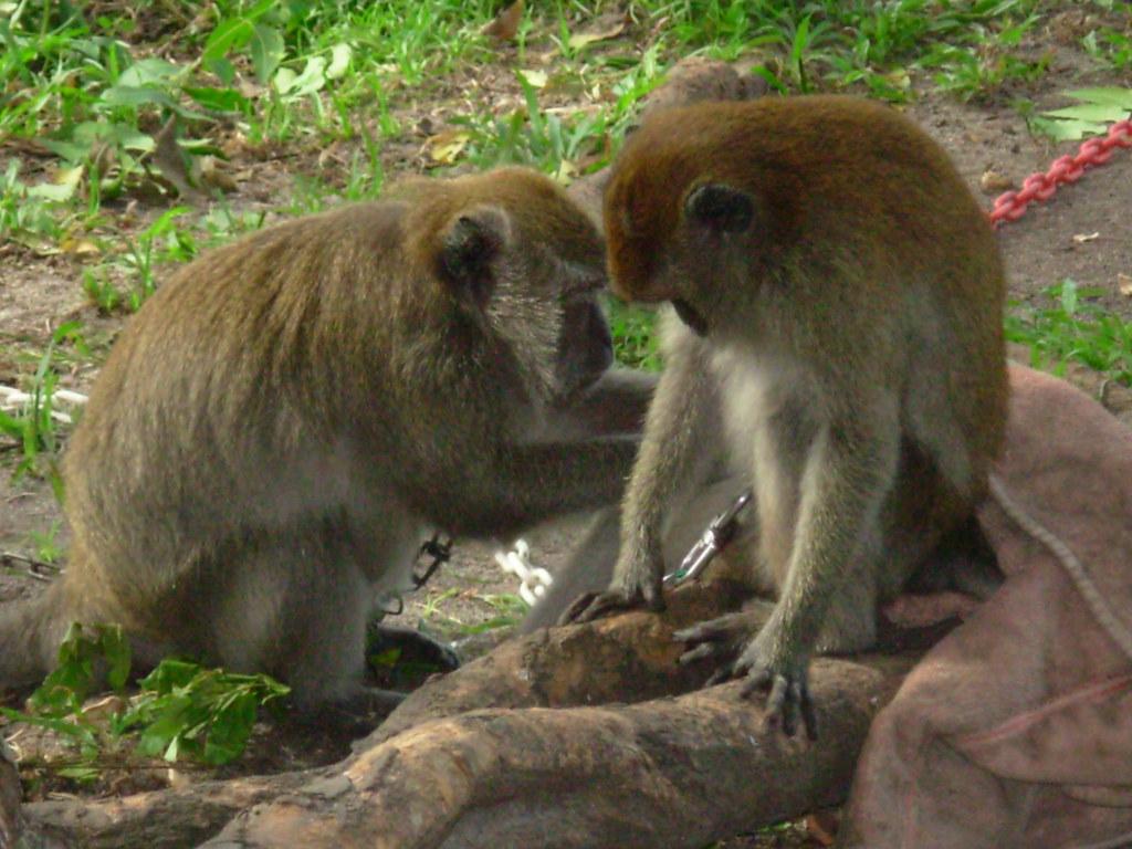 Langkawi- Singes (6)