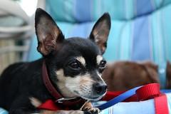 Nah Nah Nah Bat Dog!! (*Michelle*(meechelle)) Tags: dog chihuahua big ears scooter huge soe batdog goldenglobe mywinners anawesomeshot aplusphoto lmaoanimalphotoaward thatsclassy betterthangood goldstaraward damniwishidtakenthat