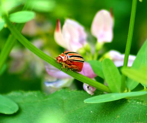 disonycha caroliniana