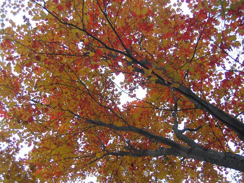 Red and yellow canopy top tree