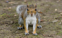 ready, set, go! (jonoakley) Tags: park red nature animal paw squirrel squirrels south tail small north ground running east darlington teesside tame bushy