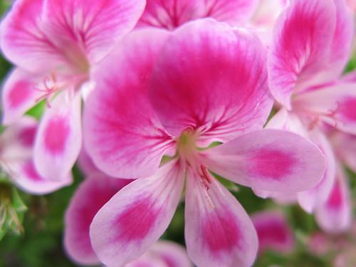 Geranium / Regal pelargonium 'Viola' / ?????