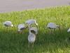 P8030008 (gruntersdad) Tags: birds ibis mylawn