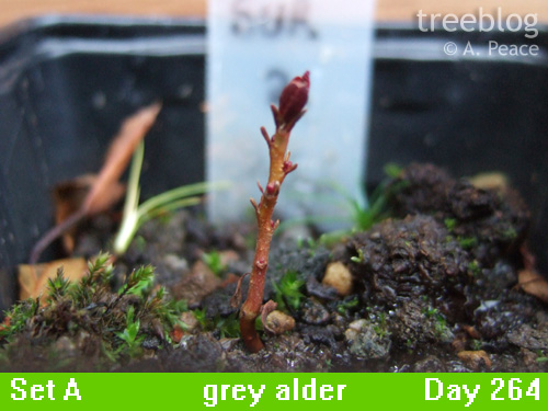 grey alder Number 2
