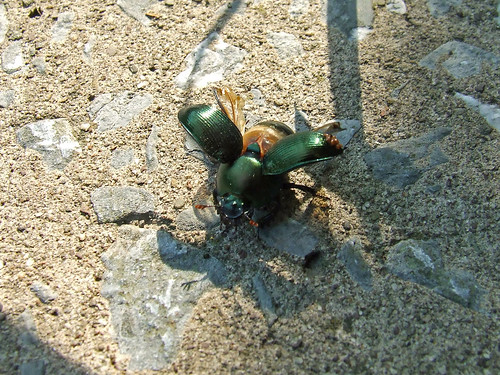 earth-boring beetle taking flight
