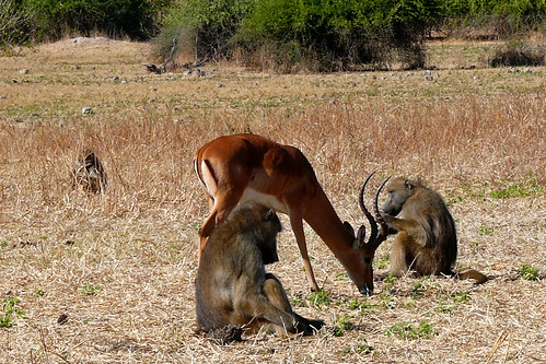 Impala and Baboons.