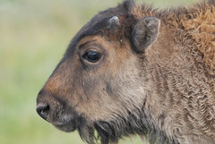 Young Bison (PYHOOYA) Tags: buffalo yellowstonenationalpark yellowstone bison