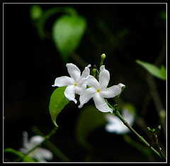 Have a great day ! (Midhun Manmadhan) Tags: flowers exposure dof bokeh canonpowershots3is