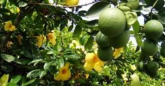 Nogueras, Colima (asterisktom) Tags: orange flower yellow fruit mexico blossom flor citrus  blume colima pomelo angustifolia comala tecoma nogueras grandis   hystrix photomem papeda