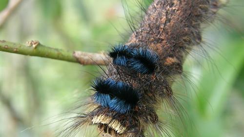 66.鮮豔的毛毛蟲