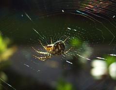 Micro Arach (Fabrette) Tags: macro nature animal insect spider web arachnid natura animale insetto ragno ragnatela aracnide macromarvels veterinarifotografi