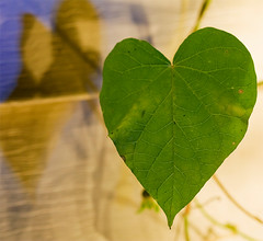Heart Leaf Vine (Morning Glory) (Amarand Agasi) Tags: longexposure night dark leaf heart vine sean tweak morningglory scottkelby adobephotoshopcs3 7pointsystem amarand