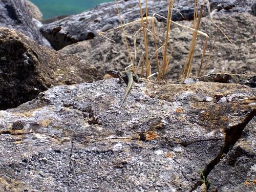 Lizard in Neuchâtel