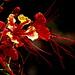 Jungle flower (framboy�n), M�xico.