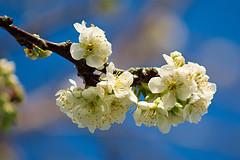 Spring - Plum Blossom - A