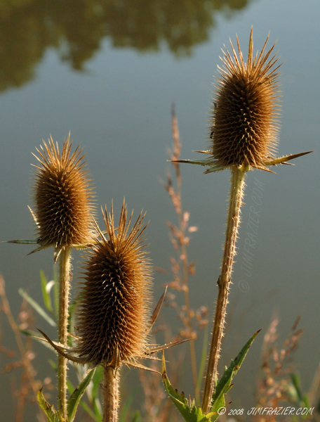 Fall Teasel