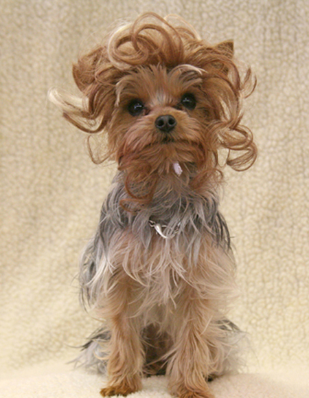 dog with fancy hairdoo