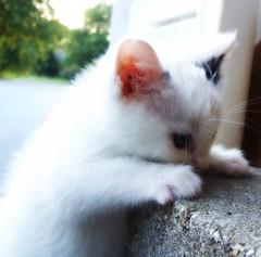 Now I Lay Me..... (mightyquinninwky) Tags: cute cat geotagged kitten fuzzy sweet 10 5 kentucky explore 25 snowball 20 onwhite picnik onblack westernkentucky animalphotography unioncountykentucky cc200 cc100 viewonblack kittenmagazine kittysuperstar velvetpaws morganfieldkentucky flickrhappy pet100 heartawards felinephotography geo:lon=8790549 geo:lat=37693236 platinumheartawards thebluegrassstate viewonwhite fcats catmoments fireaward exploreformyspacestation