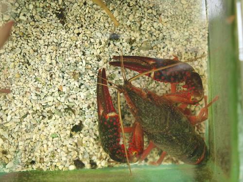 P9202552 美國螯蝦
