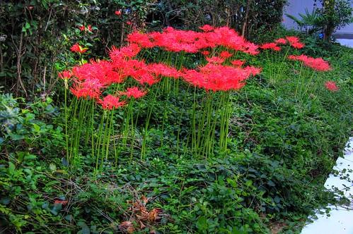 The cluster amaryllises of the yard-IMG0001_9998_9999