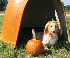 Dog pumpkin and pumpkin dog house (Doxieone) Tags: orange dog cute green english fall halloween hat pumpkin long pumpkins cream northcarolina dachshund honey blonde carolina 2008 haired coll longhaired honeydog englishcream halloweenfall2008set