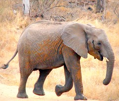 Stepping Out (Colorado Sands) Tags: africa wild elephant nature animal southafrica african wildlife south safari afrika nationalparks za muddy sdafrika krugernationalpark kruger africanelephant limpopo bigfive southafrican knp sudafrica elefantes loxodontaafricana afriquedusud lafrique zuidafrika elefanter photoanimalire limpopoprovince sandraleidholdt sudafrika surfrica afrikasafari leidholdt sandyleidholdt