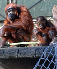 (ONE/MILLION) Tags: wild arizona baby love nature phoenix animals mom zoo monkey mother orangutan playful onemillion williestark mywinners phoenixzoo1208