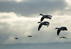 68EV5159-1 (sgbaughn) Tags: geese goose snowgeese snowgoose