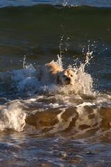 Jackson takes the plunge! (w11buc) Tags: beach dogs swim goldenretriever scotland aberdeenshire jackson e3 stcombs fraserburgh