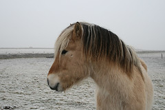 A friendly meeting on a winter's day (Seapony) Tags: cold pony rime texel seapony waddenisland