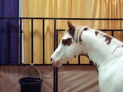 RJ Masterbug (Svadilfari) Tags: horses horse celebrity ma paint massachusetts exhibit demonstration moviestar chestnut springfield stallion equine hidalgo painthorse overo equineaffaire westspringfieldmassachusetts equineaffair westspringfieldma wspringfield westspringfieldmass rjmasterbug 2008equineaffaire chestnutoveropaint