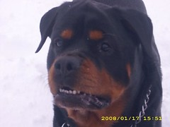 Sabastian's last snow (luvmyrotty) Tags: christmas dog snow butterfly puppy walk rip bone rottie callie deacon sabastian rotties