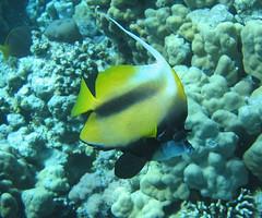 138_3876 (LarsVerket) Tags: egypt snorkling fisk undervannsfoto