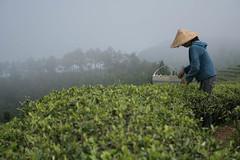 Silver Needle White Tea Picking in Fuding, China (JING Tea) Tags: tea teapickers jingtea teafieldstea