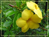 Allamanda cathartica 'Hendersonii' or 'Brown Bud' (Yellow Allamanda, Yellow Bell, Golden Trumpet, Buttercup Flower)
