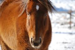 Horse (0995) (Photography Through Tania's Eyes) Tags: horse animal red winter snow peachland okanagan bc british columbia canada nikon taniasimpson copyrightimages photograph photographer photo picture britishcolumbia