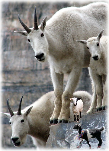 Companion: Goat