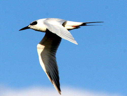 Gull-billed Tern 20091013