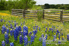 Bluebonnets and Rail Fence