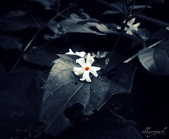 A promise... (chhayapath :-)) Tags: life morning light plant flower love leaves garden leaf pain sad jasmine forgotten fallen ju promise bangladesh bangla chhayapath gadhabador