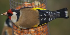 Pentax K100D.Flash.55-300mm Lens.Goldfinch On The Peanut Feeder.April 28th 2010. (Blue Melanistic.Twelve Million Views.) Tags: ireland wild bird window nature garden spring pentax wildlife goldfinch flash april colourful 2010 ulster tyrone melanistic peanutfeeder k100d 55300mmlens hazelscreen